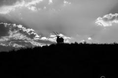 Gemsbok Silhouette