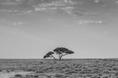 Lone Thorn Tree