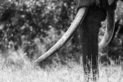 Grazing Tusker
