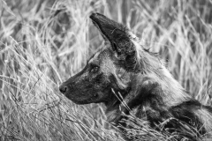 Wild Dog Portrait