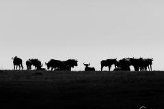 Wildebeest Silhouette